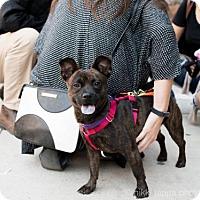 Boston Terrier Mix Dog for adoption in Brooklyn, New York - Molly Ringwald