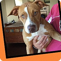 Adopt A Pet :: Butterscotch - Scottsdale, AZ