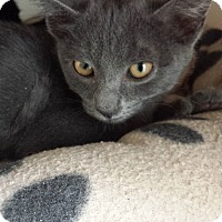 Domestic Shorthair Cat for adoption in Westminster, California - Rotini