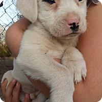 Adopt A Pet :: H LItter--arriving soon - Chichester, NH