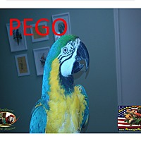 Adopt A Pet :: Pego' The Blue & Gold Macaw - Vancouver, WA