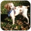 Photo 1 - Brittany Dog for adoption in Buffalo, New York - Tucker