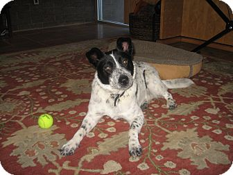 Australian Cattle Dog Mix Dog for adoption in Phoenix, Arizona - Claire - Adoption Pending