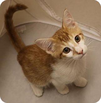 Domestic Mediumhair Cat for adoption in Atlanta, Georgia - Jimmy