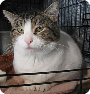 Domestic Shorthair Cat for adoption in Lombard, Illinois - Pennington