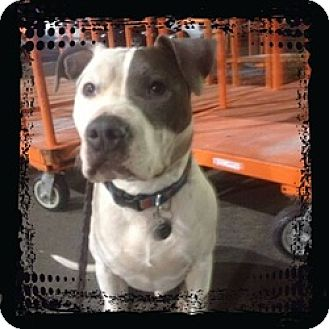 Pit Bull Terrier Mix Dog for adoption in Sacramento, California - Raider