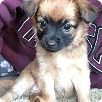 Adopt A Pet :: Ariel - Princess Pup - Encino, CA