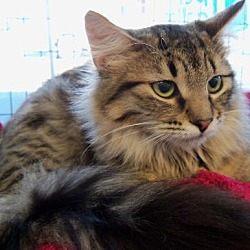Photo 1 - Domestic Longhair Cat for adoption in Walnut Creek, California - Moonbeam