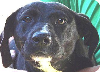 Feist/Labrador Retriever Mix Dog for adoption in Marion, Alabama - Jace