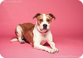 Pit Bull Terrier/Beagle Mix Dog for adoption in Blacklick, Ohio - Cinnamon