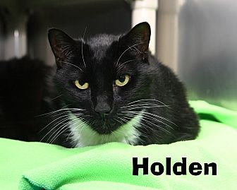 Domestic Shorthair Cat for adoption in Oakland, New Jersey - Holden