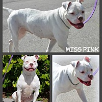 American Bulldog/Boxer Mix Dog for adoption in Miami, Florida - Pink