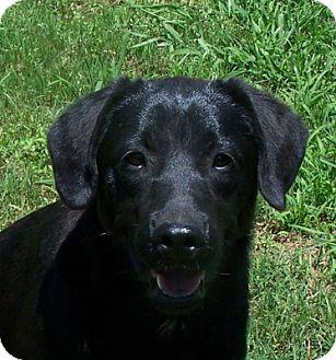 Labrador Retriever Dog for adoption in Conway, Arkansas - Sally