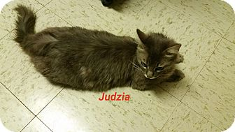 Domestic Mediumhair Cat for adoption in Muskegon, Michigan - judzia