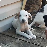 Adopt A Pet :: Marley - Kendall, NY