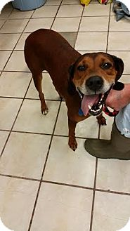 Redbone Coonhound Mix Dog for adoption in Chippewa Falls, Wisconsin - Kimber