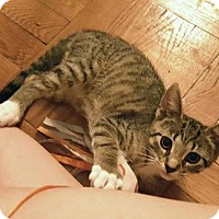 Adopt A Pet :: Feisty Monti! - Brooklyn, NY