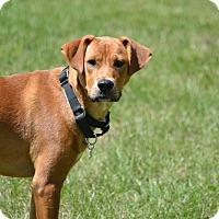 Carolina Dog/Boxer Mix Dog for adoption in Cleveland, Ohio - maya