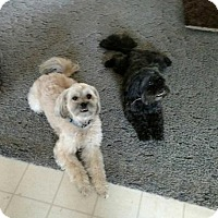 Pekingese/Poodle (Miniature) Mix Dog for adoption in New Hartford, New York - Boogla and Shadow