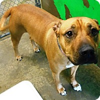 Adopt A Pet :: Cedar - Redding, CA