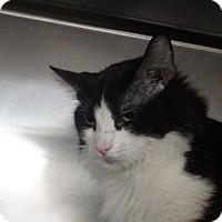 Domestic Mediumhair Kitten for adoption in Tucson, Arizona - TEYANA