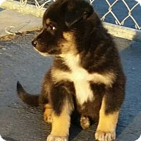 Shepherd (Unknown Type)/Cattle Dog Mix Puppy for adoption in Denver, Colorado - Shelton