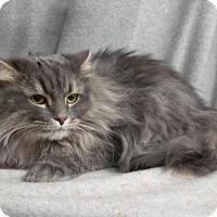 Adopt A Pet :: Meso - Herndon, VA