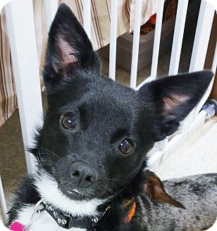 Schipperke/Terrier (Unknown Type, Small) Mix Dog for adoption in Independence, Missouri - Georgie Girl