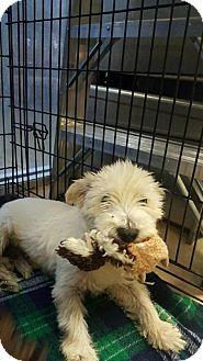 Westie, West Highland White Terrier Mix Dog for adoption in Von Ormy, Texas - Trooper(CRAH)