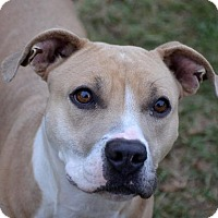 American Pit Bull Terrier Mix Dog for adoption in Ridgeland, South Carolina - Collins