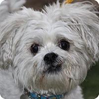 Adopt A Pet :: Juju - Las Vegas, NV