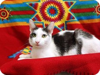 Domestic Shorthair Cat for adoption in Apple Valley, California - Lainey #160194