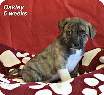 Labrador Retriever/Border Collie Mix Puppy for adoption in Yreka, California - Oakley