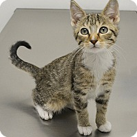 Adopt A Pet :: Boots - Springfield, IL