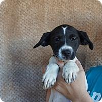 Adopt A Pet :: Haley - Oviedo, FL