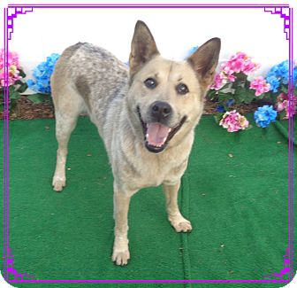 Australian Cattle Dog Mix Dog for adoption in Marietta, Georgia - HUNTER