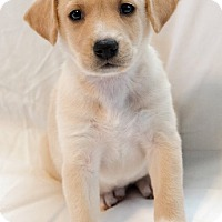Adopt A Pet :: Koko - Englewood, CO