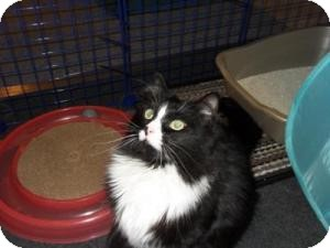 Domestic Longhair Cat for adoption in Milwaukee, Wisconsin - Illia
