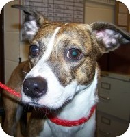 Whippet/Boxer Mix Dog for adoption in Sidney, Ohio - Cora