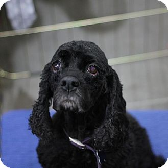 Cocker spaniel adoption seattle wa