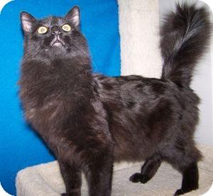 Domestic Longhair Cat for adoption in Colorado Springs, Colorado - Santana