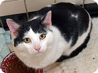American Shorthair Cat for adoption in Brooklyn, New York - Huckleberry