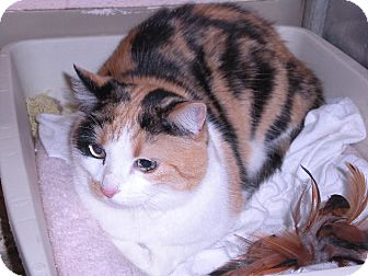 "Calico Cat for adoption in New Castle, Pennsylvania - "" Popcorn """