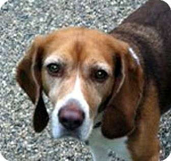 Beagle Dog for adoption in Houston, Texas - Piper
