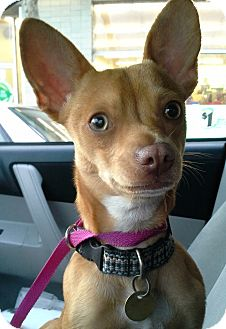 Chihuahua Mix Dog for adoption in Emeryville, California - BEAN