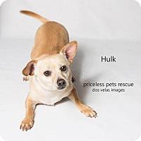 Chihuahua Dog for adoption in Chino Hills, California - Hulk - Chino Hills