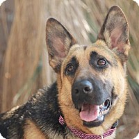 German Shepherd Dog Dog for adoption in Beverly Hills, California - ANGIE