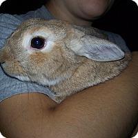 Adopt A Pet :: Pumpkin - Alexandria, VA