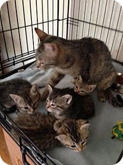 Domestic Shorthair Cat for adoption in Alamo, California - Sarah
