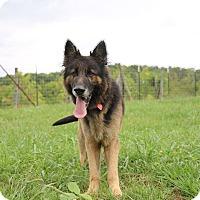 Adopt A Pet :: Bear - Greeneville, TN